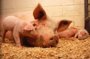 800px-Sow_and_five_piglets