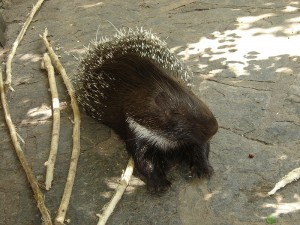 800px-Brush_tailed_porcupine_Berlin_Zoo