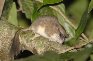 Malabar_spiny_dormouse