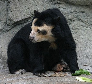 659px-Spectacled_Bear_-_Houston_Zoo