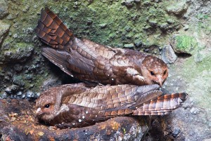 Vetvogels op het nest; Oilbirds on a nest
