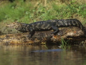 mcdonald-joe-dwarf-caiman-paleosuchus-palpebrosus-orinoco-and-amazon-basins-south-america